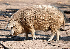 Heritage Pork: The Mangalica Pig