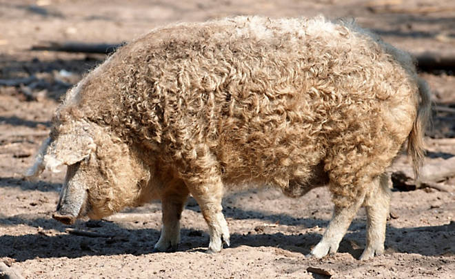 The Wooly Mangalica Pig- Our Products – Dartagnan.com