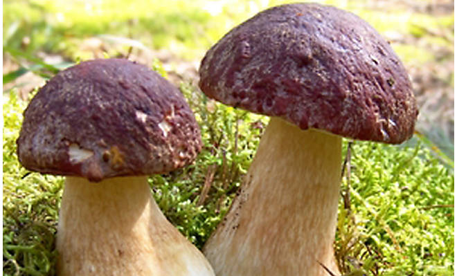 More About Porcini Mushrooms- Our Products – Dartagnan.com