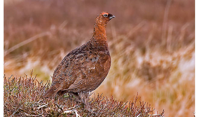 Scottish Game: Grouse- Our Products – Dartagnan.com