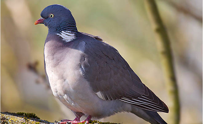 Scottish Game: Wood Pigeon- Our Products – Dartagnan.com