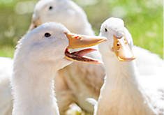 duck types, breeds of ducks, different kinds of ducks